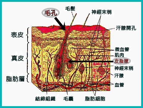 皮膚剖面,毛孔|新竹愛生美皮膚科醫學美容診所